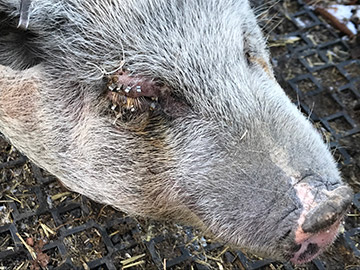 Eye problems on a pig