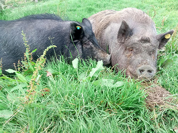 Pigs enjoying life at Pigs Inn Heaven