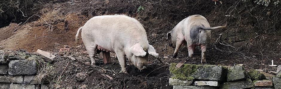 Pigs Inn Heaven | Pig Inn Heaven